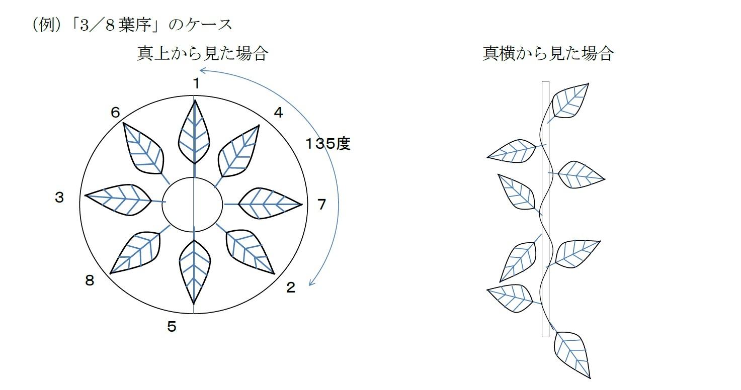 (例)「3/8葉序」のケース